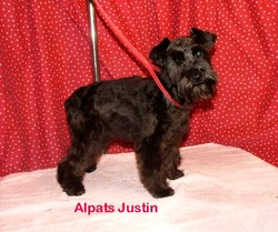 Black and liver schnauzer